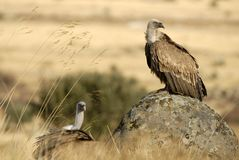 Griffon vultures posing Stock Photos
