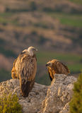 Griffon Vultures on a rock stock photo