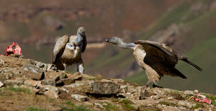 Griffon vultures Royalty Free Stock Photography