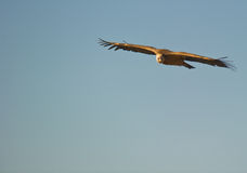 The Griffon Vultures´sharp eyes Royalty Free Stock Photo