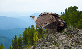 Griffon   in wildness. Griffon vulture (Gyps fulvus)  in wildness area Stock Image