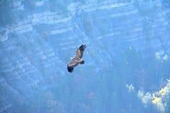Griffongier in Barronies, wijd open vleugels Het vliegen vrij in de hemel Met klippen en berg op de achtergrond stock foto's