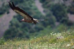 Griffongier tijdens de vlucht Stock Foto