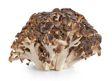Grifola frondosa, Sheep's Head mushroom maitake mushroom Royalty Free Stock Images
