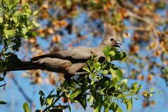 Grigio-Va-Via l'uccello (concolor di Corythaixoides) Fotografia Stock Libera da Diritti