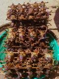 Griglia della rana toro Fotografia Stock