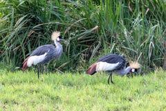 Grijs-bekroonde Kraan, Kenia, Afrika stock foto