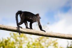 Grijs-Cheeked Mangabey, een boom-blijvende stilstaan aap met lange lidmaten, een verstoorde staart die langer is dan zijn lichaam royalty-vrije stock foto