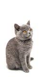 grijs geïsoleerd katje Royalty-vrije Stock Afbeeldingen