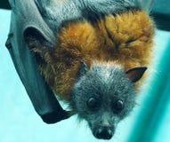 Grijs-geleide Fruitknuppel, of vleerhond, hangende bovenkant - neer van zijn toppositie royalty-vrije stock foto