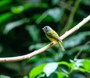 Grijs-geleide kanarie-Vliegenvanger (Culicicapa-ceylonensis) in aard Stock Fotografie