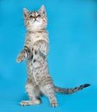 Grijs gestreept katje die zich op blauw bevinden Stock Afbeeldingen