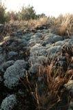 Grijs groen korstmos en mos droog die gras ter plaatse, door de dageraad van de zon wordt aangestoken Royalty-vrije Stock Foto