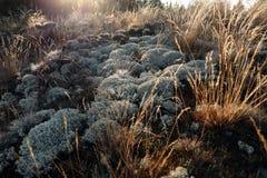 Grijs groen korstmos en mos droog die gras ter plaatse, door de dageraad van de zon wordt aangestoken Royalty-vrije Stock Afbeelding