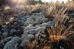 Grijs groen korstmos en mos droog die gras ter plaatse, door de dageraad van de zon wordt aangestoken Royalty-vrije Stock Afbeeldingen