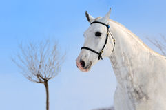 Grijs het paardportret van de vlek Royalty-vrije Stock Afbeeldingen