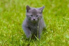 Grijs katje stock afbeeldingen