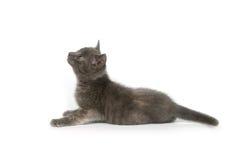 Grijs katje dat omhoog eruit ziet Royalty-vrije Stock Fotografie