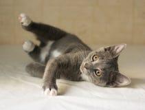 Grijs katje met witte neer vlekken Royalty-vrije Stock Foto