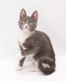 Grijs katje met witte vlekken en gele ogen die excitedly l zitten stock afbeeldingen