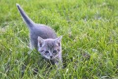 Grijs katje op groen gras stock afbeelding