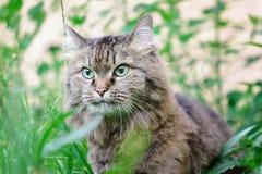Grijs kattenclose-up in het gras Een dier met mooie ogen royalty-vrije stock foto