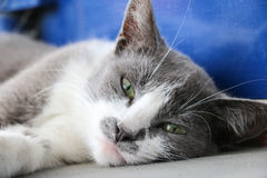Grijs kattengezicht Stock Fotografie