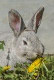 Grijs konijn Stock Afbeeldingen