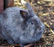 Grijs konijn Royalty-vrije Stock Afbeeldingen