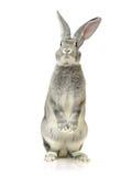 Grijs konijn royalty-vrije stock foto