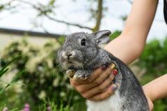 Grijs konijn royalty-vrije stock afbeelding