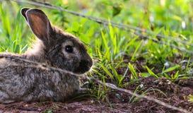 Grijs konijn in aard achter de omheiningsdraad Stock Fotografie