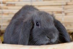 Grijs konijn in de schotel royalty-vrije stock afbeelding