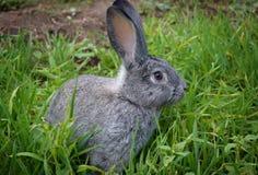 Grijs konijn op gras 7 Stock Foto's