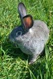 Grijs konijn op gras 5 Royalty-vrije Stock Foto
