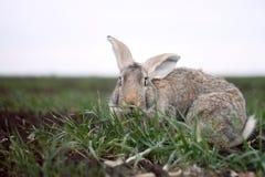 Grijs konijn op het gebied Royalty-vrije Stock Foto