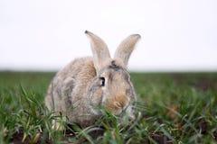 Grijs konijn op het gebied Royalty-vrije Stock Afbeelding