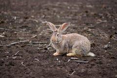 Grijs konijn op het gebied Stock Afbeelding