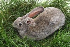 Grijs konijn op het gras Royalty-vrije Stock Afbeeldingen