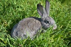 Grijs konijn op het gras Stock Afbeelding