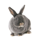 Grijs konijn Vierkant beeld (1x1) Royalty-vrije Stock Foto's