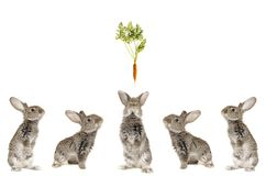 Grijs konijn vijf Stock Afbeeldingen