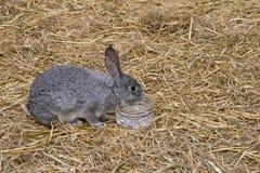 Grijs konijntje Royalty-vrije Stock Afbeelding