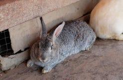 Grijs konijntje die aan de voorzijde staren Stock Fotografie