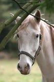Grijs Paard Royalty-vrije Stock Afbeeldingen