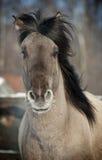 Grijs paard Royalty-vrije Stock Foto's