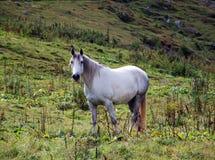 Grijs paard Royalty-vrije Stock Afbeelding