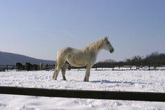 Grijs paard bij wintertijd Stock Foto's