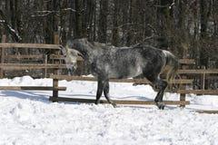 Grijs paard bij wintertijd Royalty-vrije Stock Foto
