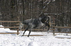 Grijs paard bij wintertijd Royalty-vrije Stock Foto's